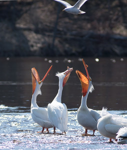 American White Pelican flock loafing roost Fond du Lac Bridge St  Louis River Duluth MN-06928