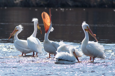 American White Pelican flock loafing roost Fond du Lac Bridge St  Louis River Duluth MN-06923