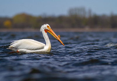 American White Pelican Lake Osakis Douglas County MN -0582