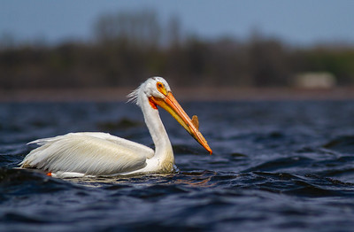 American White Pelican Lake Osakis Douglas County MN -0587