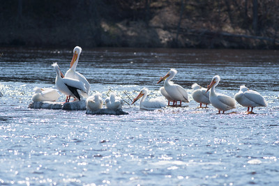 American White Pelican flock loafing roost Fond du Lac Bridge St  Louis River Duluth MN-06917