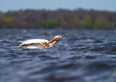 American White Pelican Lake Osakis Douglas County MN -0560