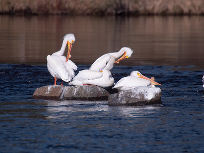 American White Pelican flock loafing St  Louis River at Fond du Lac bridge Chamber's Grove park Duluth MN -1044054