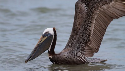Brown Pelican Estero Beach FL IMG_3632 CR2