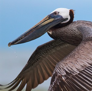 Brown Pelican Estero Beach FL IMG_3636 CR2