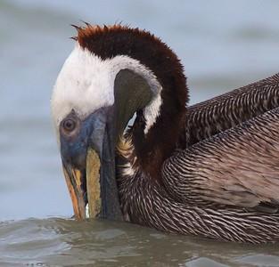 Brown Pelican Estero Beach FL IMG_3625 CR2