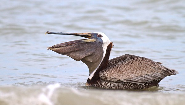 Brown Pelican Estero Beach FL IMG_3630 CR2 (1)