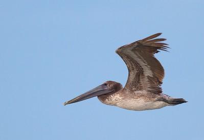 Brown Pelican Estero Beach FL IMG_3531 CR2