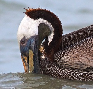 Brown Pelican Estero Beach FL IMG_3625 CR2 (1)