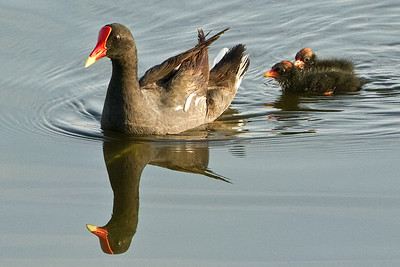 COMMON MOORHEN - MOM and TWO BABIES