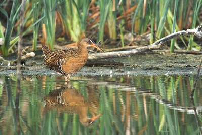 Clapper Rail emerges from the cattails [April; Krenmueller Farms, Lower Rio Grande Valley, Texas]