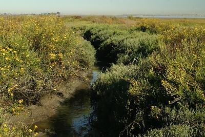 Ridgeway's Rail habitat near San Francisco CA 267_6793 JPG