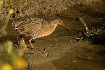 The California subspecies of Clapper Rail [August; near San Francisco, California]