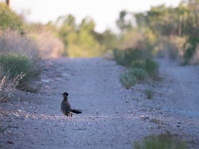 Greater Roadrunner Foothills Road Chihuahuan Desert Chiricahua Mountains near Portal southeast Arizona June 6-12 2019-1066090