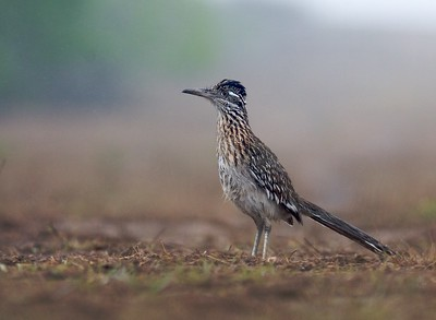 Greater Roadrunner on a foggy morning [April; Sick Dog Ranch near Alice, Texas]