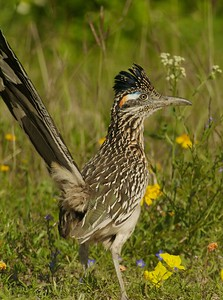 A Greater Roadrunner hunts for lizards and mice [April; Sick Dog Ranch near Alice, Texas]