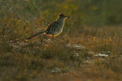 A Greater Roadrunner hunts for lizards and mice along a path [February; Sick Dog Ranch near Alice, Texas]