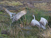 SAND HILL CRANES : 1 gallery with 44 photos