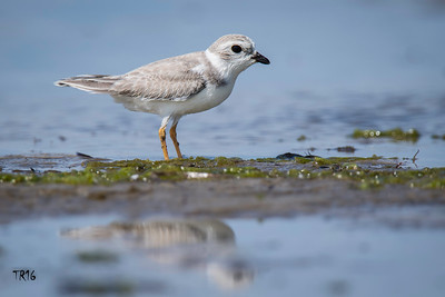 PIPING PLOVER - NICKERSON