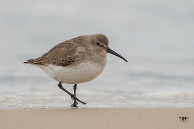 DUNLIN - JONES BEACH