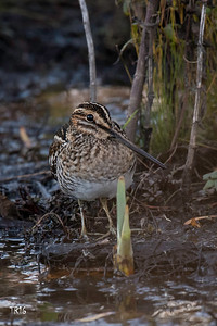 COMMON SNIPE - PATCHOGUE