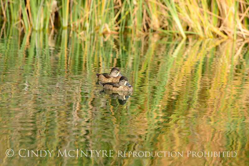Ring-necked duck females, S Calif (2)