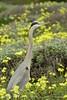 San Simeon CA Great Blue Heron (20)