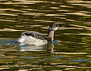 Eared grebe winter, S Calif (4)