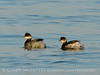 Eared grebes, Salton Sea CA (1)