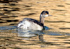 Eared Grebe winter, S Calif (2)