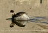 Eared Grebe, Salton Sea, CA (9)