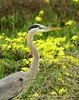 San Simeon CA Great Blue Heron (15)
