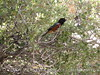 Spotted towhee male, Joshua Tree NP (1)