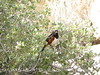Spotted towhee male, Joshua Tree NP (2)