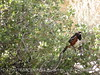 Spotted towhee male, Joshua Tree NP (4)
