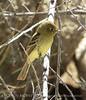 Pacific slope flycatcher, Joshua Tree NP (4)