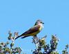 Western Kingbird, Mojave Natl Preserve CA