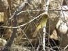 Pacific slope flycatcher, Joshua Tree NP (5)