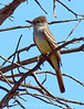Ash-throated flycatcher, Mojave Natl Preserve CA