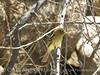 Pacific slope flycatcher, Joshua Tree NP (3)