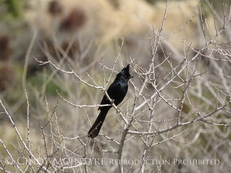 Phainopepla male, Joshua Tree NP (5)