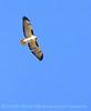 Red-tailed hawk, MOJA CA (8)