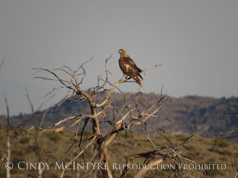 Hawk, Joshua Tree NP CA (1)