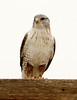 Ferruginous Hawk, Barstow CA (1)