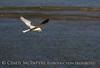 White-tailed kite, Big Bear Lake CA (1)