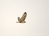 Ferruginous Hawk, Barstow, CA (3)