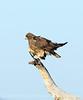 Swainson's Hawk dark form, Mojave Natl Preserve CA (3)