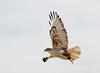 Ferruginous Hawk wLeg Band, Barstow, CA (3)