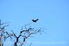 Zone-tailed hawk, Mojave Natl Preserve CA (7)