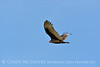 Turkey vulture at Calif coast (5)